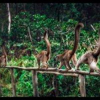 Организованной толпой лЕмуры шли на... фотосессию! Мадагаскар. :: Александр Вивчарик