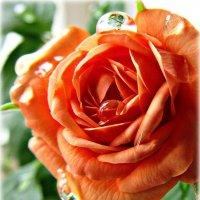 Роза :: Виктория Бессонова