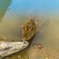 крокодилы :: Дмитрий Лупандин