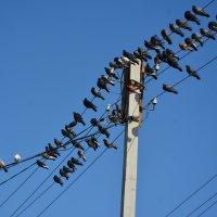 Голуби птицы неприхотливые. :: юрий Амосов