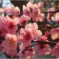 Розовые лепестки цветов персика... :: Эля Юрасова