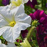 White flower :: Петр Заровнев