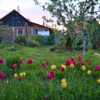 Тюльпаны на закате :: Ольга