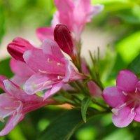 *Розовые цветы* :: Ольга Евдокимова