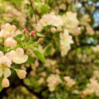 .. Один раз в год - сады цветут..!!! :) :: Арина Дмитриева