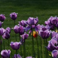 Тюльпановый май :: Наталья Лакомова