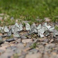 Бабочки :: Наталия Лисунова