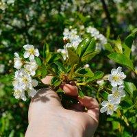 Я так люблю цветение :: Света Кондрашова
