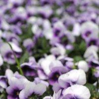 Цветы :: Семья Фоменковых