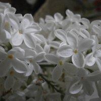 Белая сирень :: Алёна Савина