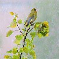 Весенний дождь. :: Hаталья Беклова