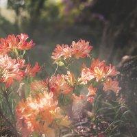 Цветок японского сада :: Olesia Kasabova