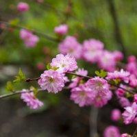 Так цветет миндаль. :: Marina Ozhiganova