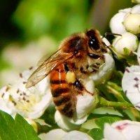 пчелка :: linnud
