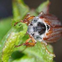милый майский жук :: Мария Ставцева