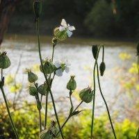 На берегу реки смолевки и маковые головки... :: Svetlana Baglai