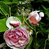 Средь связки роз, весной омытой, прекрасней чайной розы нет :: Александр Корчемный