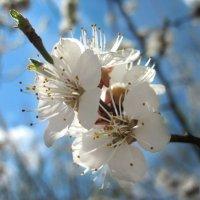 Вот и весна! :: Тамрико Дат
