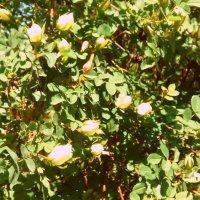 Белые розы :: Вероника Озем