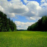озимое поле в мае :: Александр Прокудин