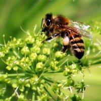 Пчёлки :: Alexander