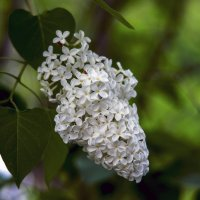 белой сирени цветы :: gribushko грибушко Николай