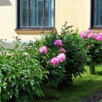 Розовые пионы. :: Валентина ツ ღ✿ღ