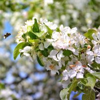 Один раз в год сады цветут :: Владимир Кочнев