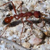 Красный муравей-бульдог (Myrmecia gulosa) и муха. :: Антонина