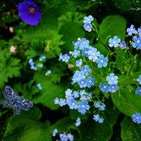Незабудки и бабочка :: Nina Yudicheva