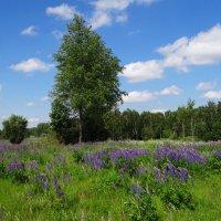 Люпиновые поля. :: Антонина Гугаева
