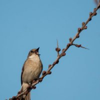 Поющий возле гнезда самец мухоловки-пеструшки :: Тимофей Черепанов