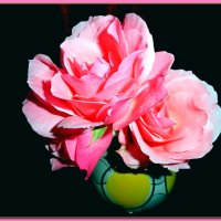 розовые розы :: Люша