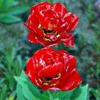 Тюльпаны :: Светлана Двуреченская