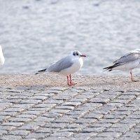 Чайки на набережной Стокгольма :: Swetlana V