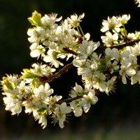 ...и вишни цвет прекрасен. :: Владимир Гилясев