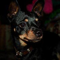 Тимка собачка :: Света Кондрашова