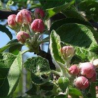 Бутоны яблони :: Вера