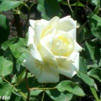На Аллее роз :: Нина Бутко