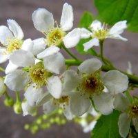 Черёмухи белый цвет. :: nadyasilyuk Вознюк
