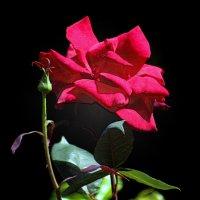 Роза красная :: Alexander Andronik