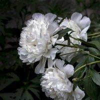 белый ангел вселился в пионы... :: gribushko грибушко Николай