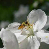 Оса в цветке яблони) :: Екатерина