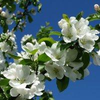 яблоня в цвету :: Alla Swan