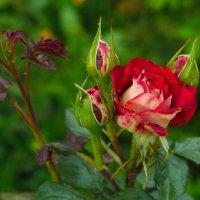 та же роза и макрообьектив Советский Волна 9 :: Андрей Бимов
