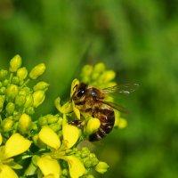 Пчела и Цветок. :: Ирина Нафаня