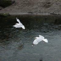 Чайки :: Natalia Harries