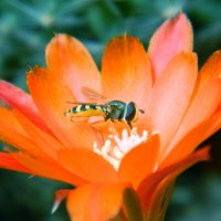 Цветок кактуса :: Сергей Босов