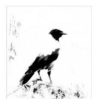 ворона в чёрно - белом :: Николай Староверов