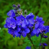Синие цветы :: Сергей Чиняев